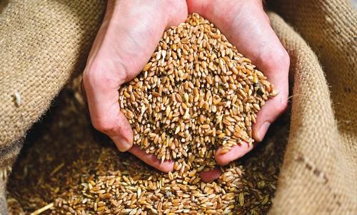 Timilia wheat