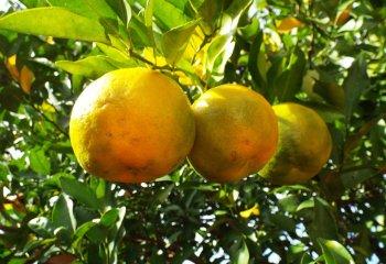Bergamotto, l'agrume che combatte stress e colesterolo