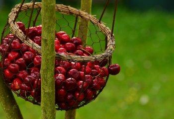 Ciliegie, il regalo di fine primavera (e una ricetta)